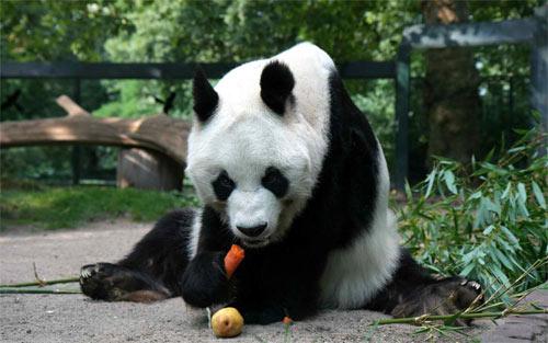 Pandas 13_101025 Wallpaper