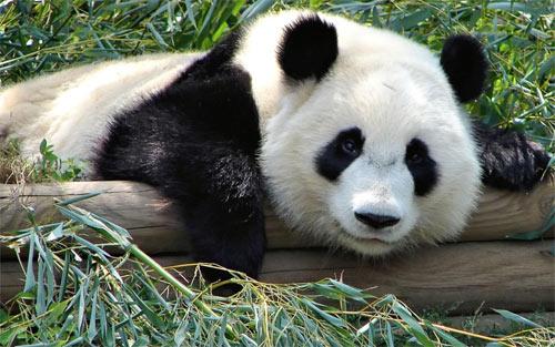 Pandas 24_101036 Wallpaper