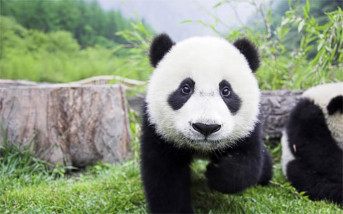 Panda Baby wallpapers