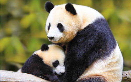Panda Love wallpaper