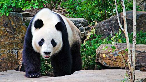 Pandas 5_101017 Wallpaper