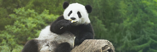 30 Adorable Panda Wallpaper for your Desktop