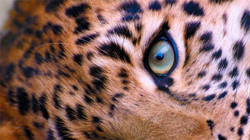 Leopard Face wallpaper
