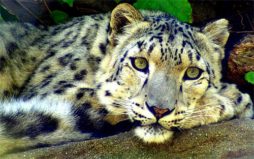 Nice Snow Leopard wallpaper