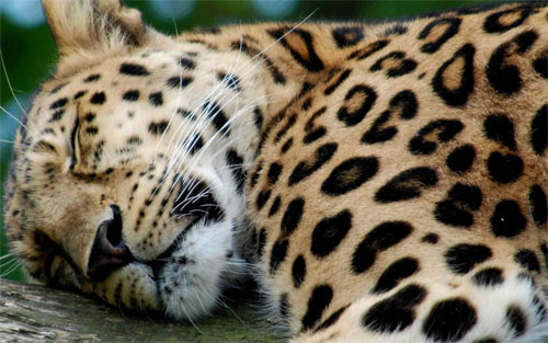 Sleepy Leopard wallpaper