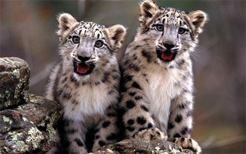 snow-leopards wallpaper