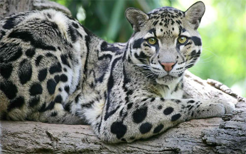 Beautiful Clouded Leopard wallpaper