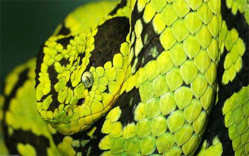 snake_71040 Wallpaper