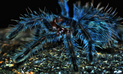Blue tarantula wallpapers