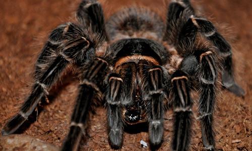 Lasiodora parachybana tarantula wallpapers
