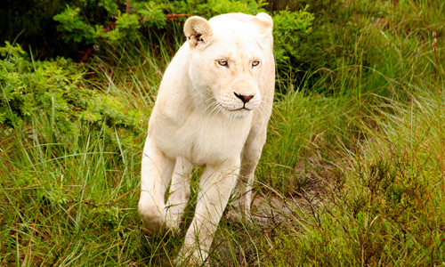 Beautiful female white lion