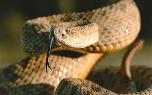 The Rattle Snake