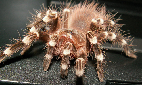 Brown tarantula wallpapers