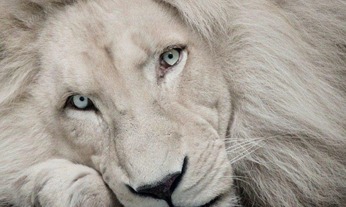 Stunning white lion