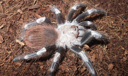 Nhandu chromatus tarantula wallpapers