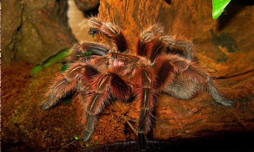 Grammostola Rosea tarantula wallpapers