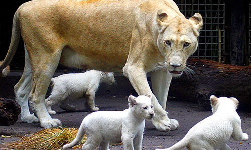 Cubs white lion