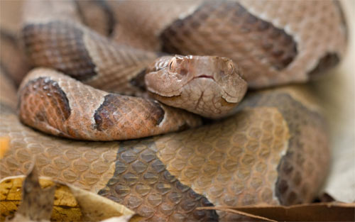 Ozark Copperhead Snake