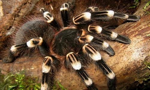Acanthoscurria Geniculata tarantula wallpapers