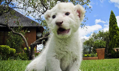Cute cub white lion