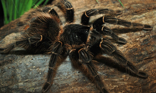 Banded tarantula wallpapers