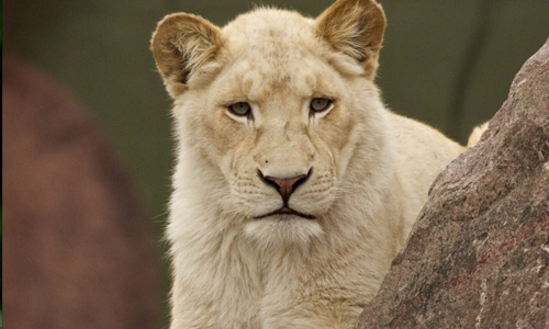 Lioness white lion