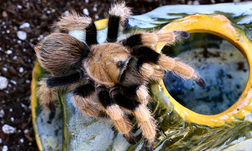 Amazing tarantula wallpapers