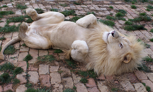 Rolling lying white lion