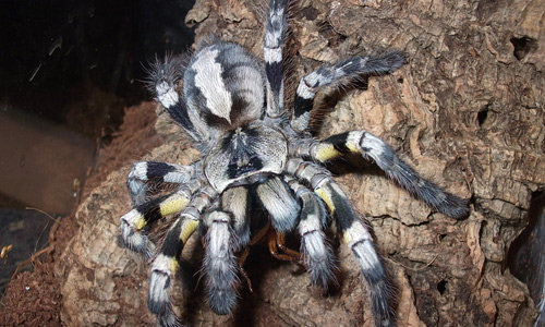 Cool tarantula wallpapers
