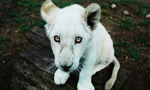 Innocent big eyes white lion