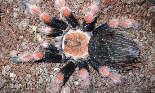 Brachypelma Boehmei tarantula wallpapers