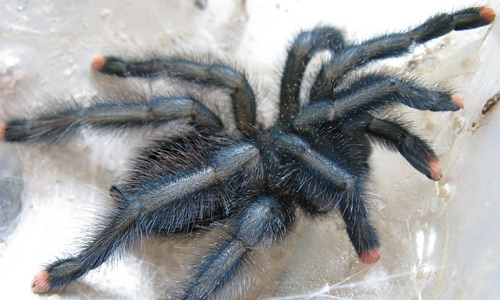 Black tarantula wallpapers