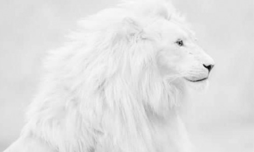 Snow white lion