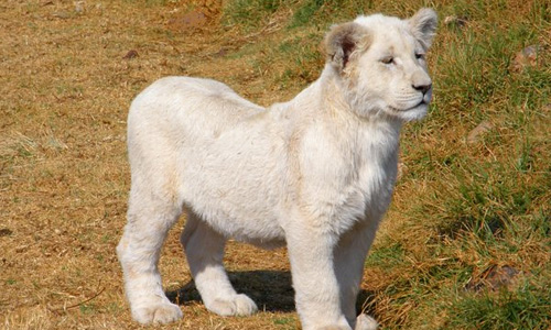 Cub white lion