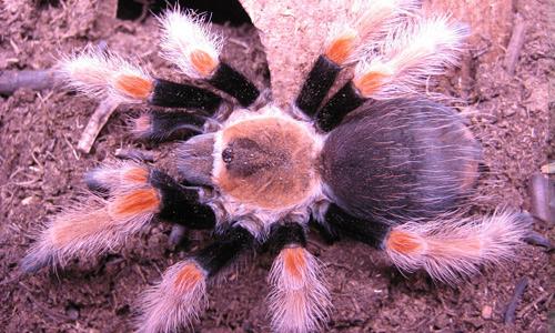 Aphonopelma schmidti tarantula wallpapers