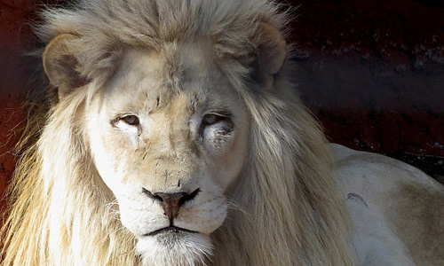 Proud king white lion