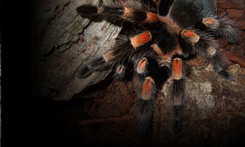 Brachypelma smithi tarantula wallpapers