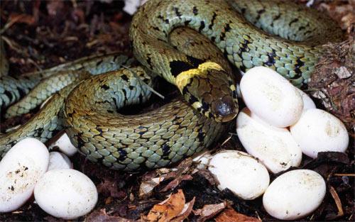 Snake-Eggs