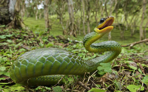snake of Andes