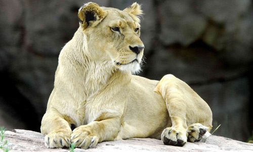 Female white lion
