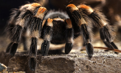 Beautiful tarantula wallpapers