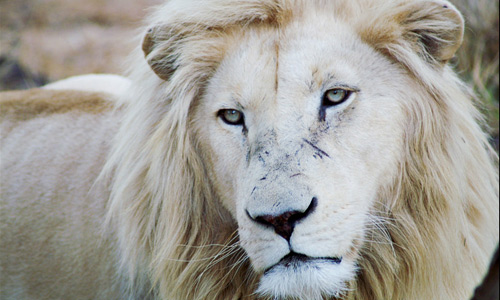 Close up white lion