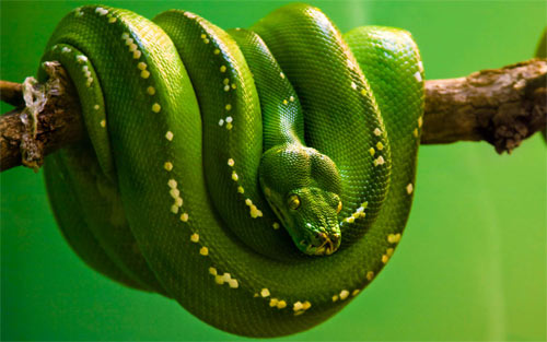 Emerald Tree Python Wallpaper