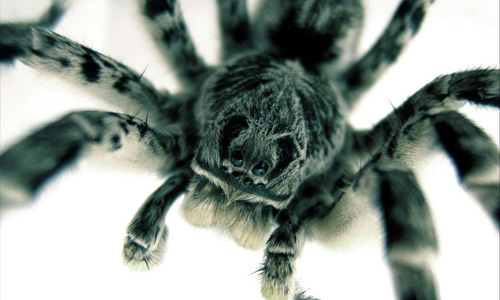 Close up tarantula wallpapers