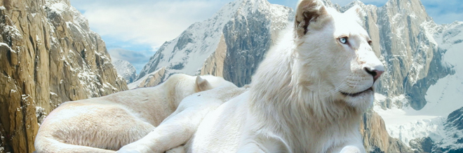 26 Truly Magnificent White Lion Wallpapers to Spice Up your Desktop