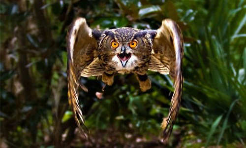 Fearsome scary flying free hi res owl wallpaper