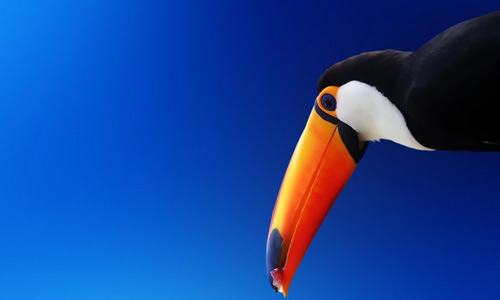 Toucan free birds wallpapers