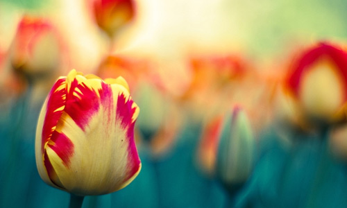 Yellow red tulip flowers hi resolution wallpapers