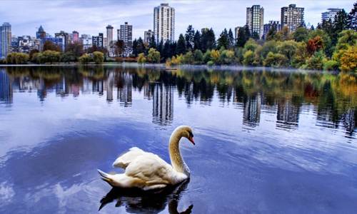 Swan free birds wallpapers