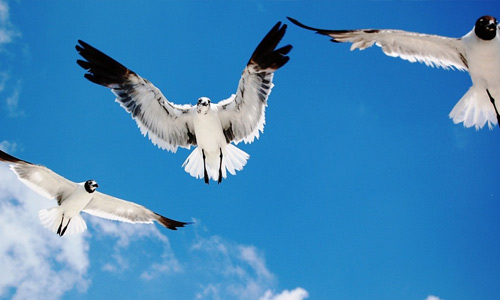 Seagulls free birds wallpapers